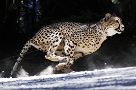 photo of our cheetah Themba running