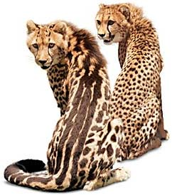 photo of King cheetah Kgosi and cheetah Mopani