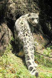 Photo of Asha, our Snow Leopard