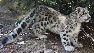 Photo of Bhutan, our Snow Leopard