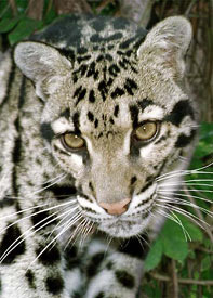 Photo of Chandra, our Clouded Leopard