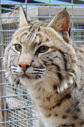 Photo of Cheyenne, our Bobcat