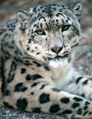 Photo of Chhinsu, our Snow Leopard