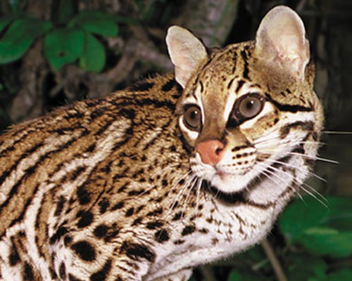 photo of Chimane, our Ocelot
