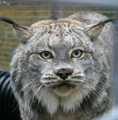 Canadian Wild Cat Breeds