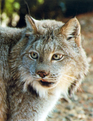 photo of Denali, our Canada Lynx