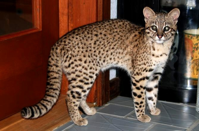 photo of Guarani, our Geoffroy's Cat