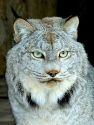 Photo of Kalispel, our Canada Lynx