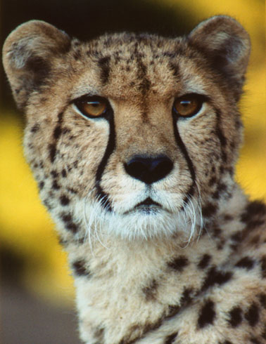 photo of Kamau, our Cheetah