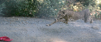 Photo of Kamau, our cheetah, chasing a toy