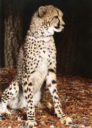 Photo of Kibibi,our Cheetah