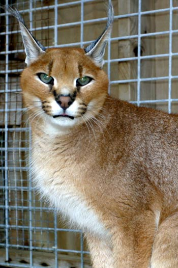 photo of Mara, our Caracal