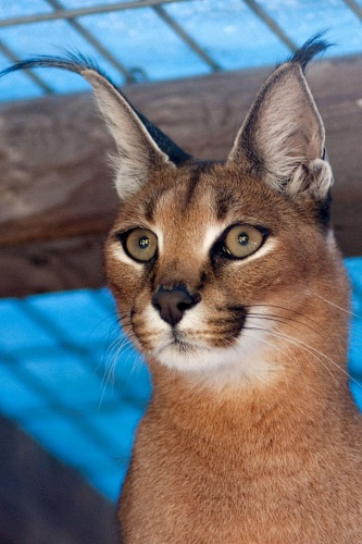 photo of Moremi, our young Caracal
