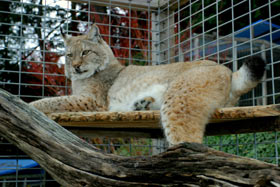 Photo of Oksana, our Siberian Lynx