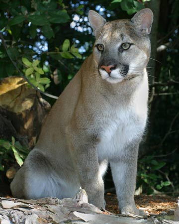 photo of Shoshone, our Cougar