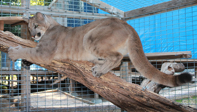 photo of Tocho, our Cougar