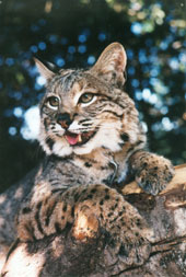 Photo of Zuni, our Bobcat
