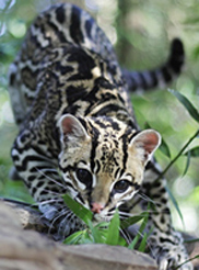 Photo of Chachi,our Ocelot
