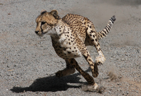 photo of our cheetah Kamau running