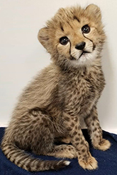 Photo of Tafari,our Cheetah