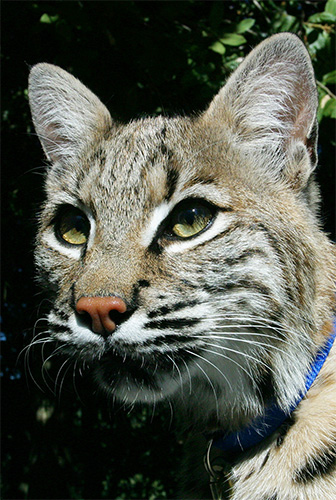 photo of Takoda, our Bobcat