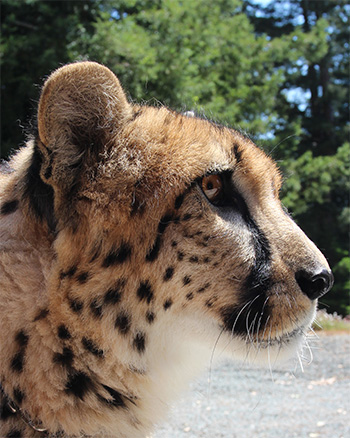 photo of Themba, our Cheetah