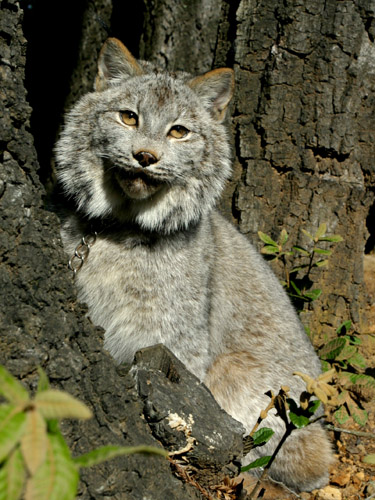 photo of Tiquanna, our new Canada Lynx kitten