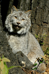 Photo of Tiquanna, our Canada Lynx