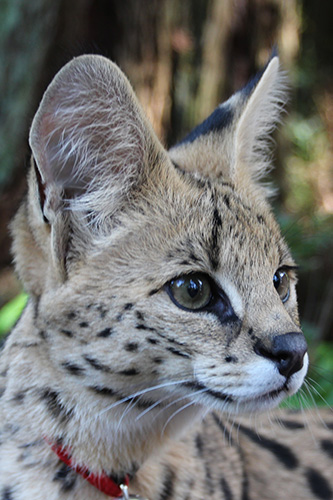 photo of  Zuri, our Serval